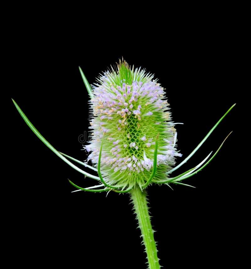 Fleur de cardère image libre de droits
