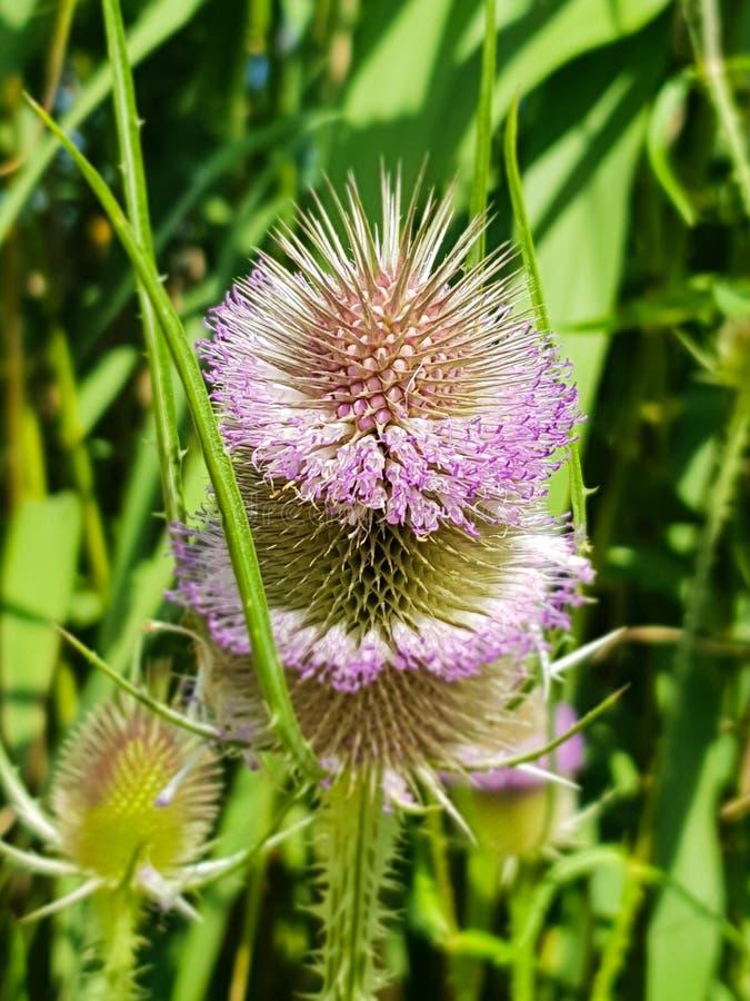 Fleur de cardère de Dipsacum en fleur de cardère de Dipsacum dans Coriano, campagne d'Emilia Romagna, Italie image libre de droits