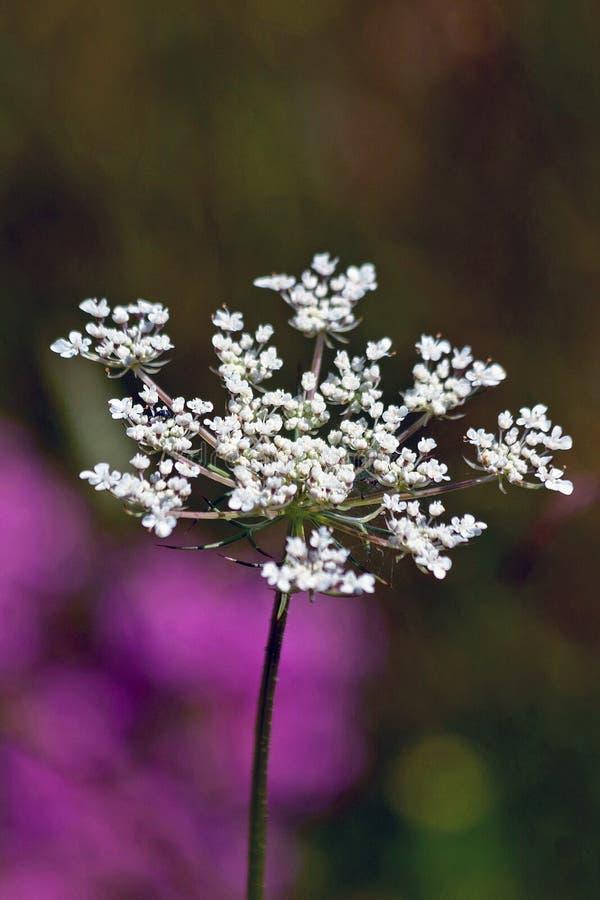 Download Fleur de Carota de Daucus image stock. Image du lacet - 56485205