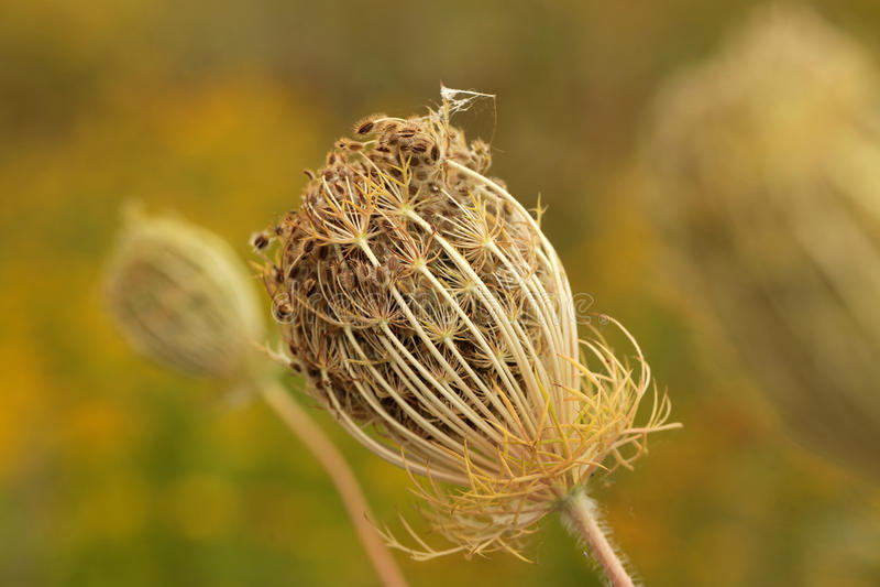 Fleur de carotte sauvage photographie stock libre de droits