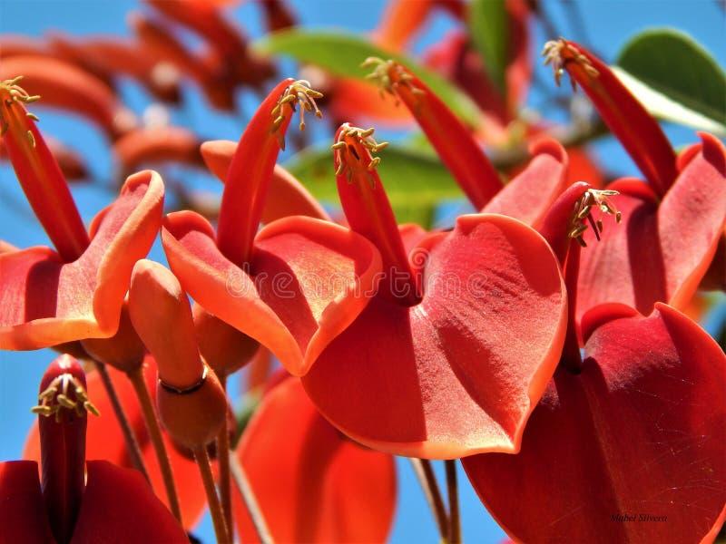 Fleur de Ceibo images stock