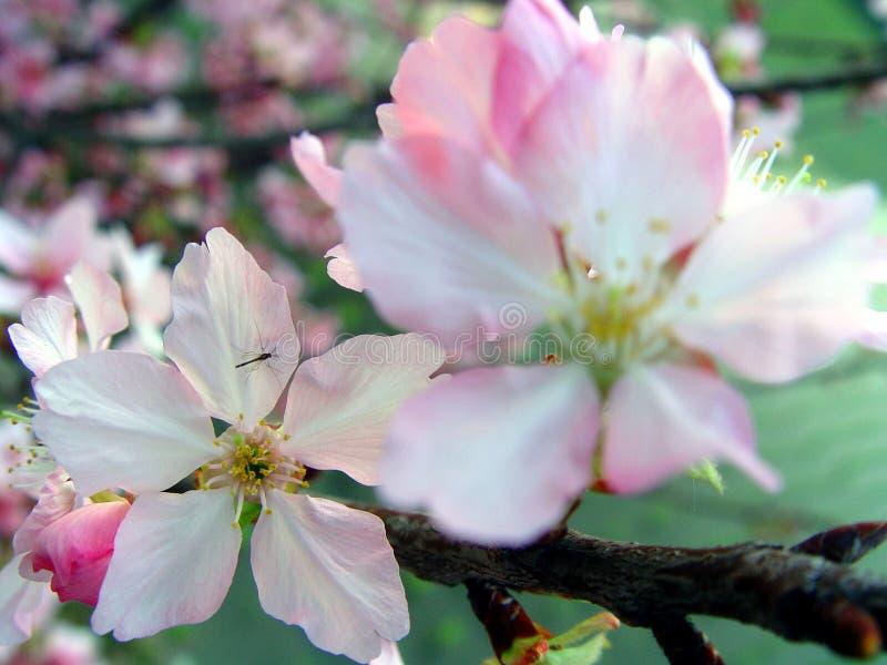 Fleur de cerise images stock