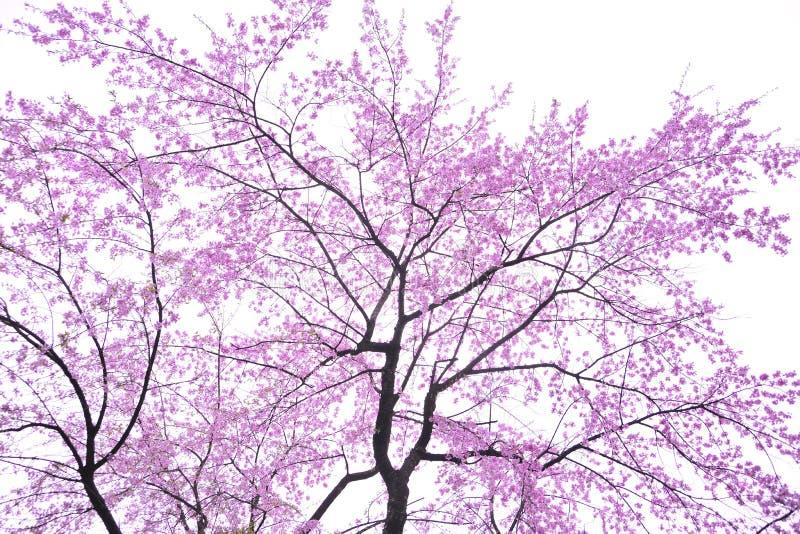 Fleur De Cerise D Art Images stock