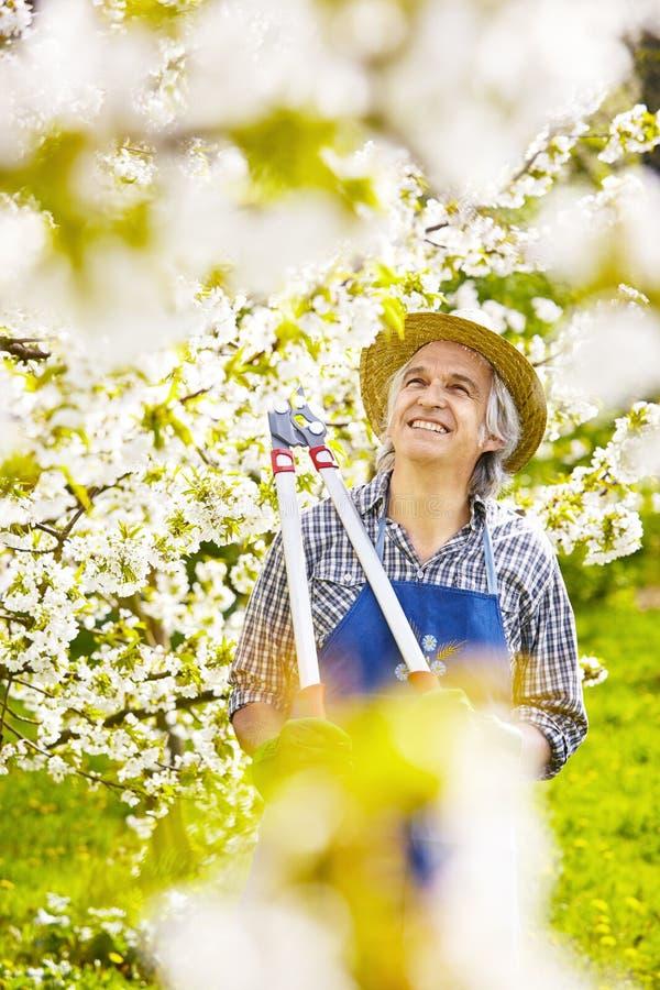 Fleur de cerise de ciseaux de branche de cerisier de jardinier images libres de droits