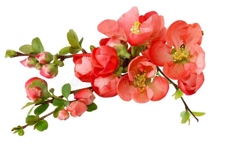Fleur de cerise de source images libres de droits