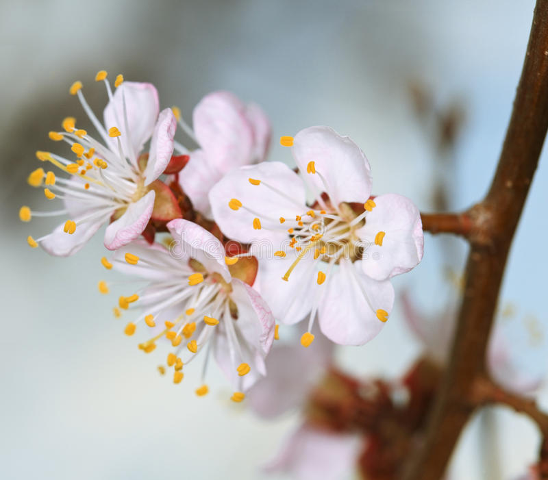 Fleur de cerise de source photos stock