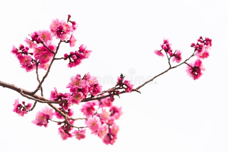 Fleur de cerise rose d'isolement sur le blanc photo stock