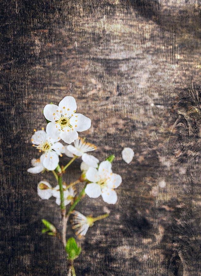 Fleur de cerise sur le vieux fond en bois foncé image libre de droits