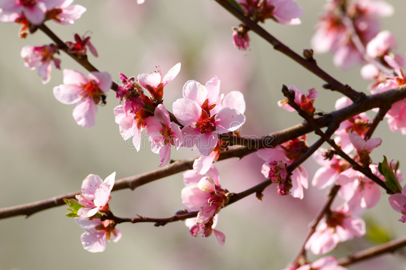 Fleur de cerisier photo stock