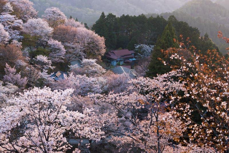 Fleur de cerisier de montagne de Yoshino pleine images stock