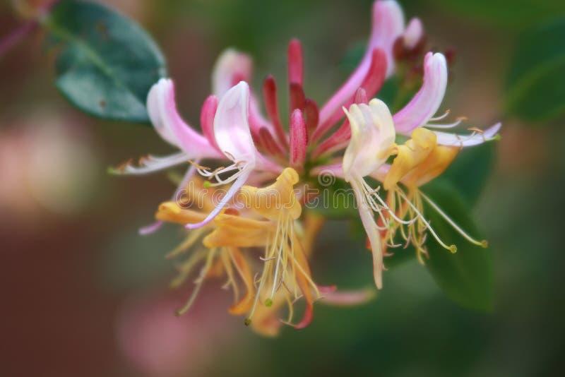 Fleur de chèvrefeuille photographie stock