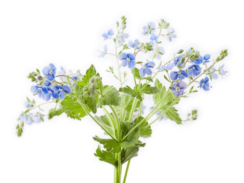 Fleur de chamaedrys de Veronica image libre de droits