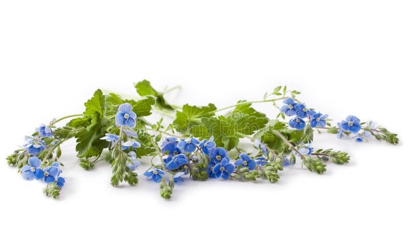 Fleur de chamaedrys de Veronica photo stock