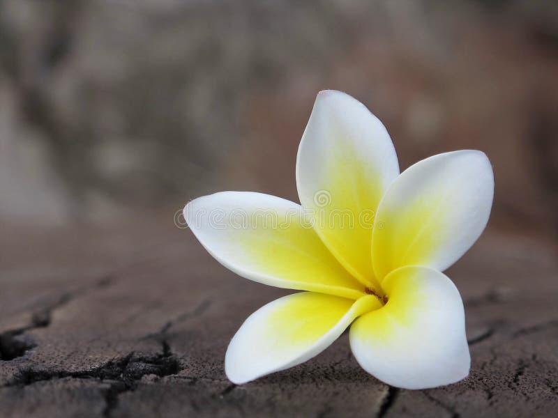 Fleur de Champa photos libres de droits