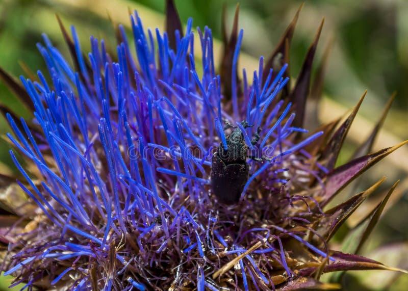 Fleur de chardon dans une belle couleur bleue avec un scarabée, macro photographie photos stock