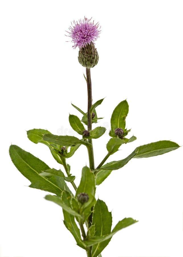 Fleur de chardon, lat Carduus, d'isolement sur le fond blanc image libre de droits