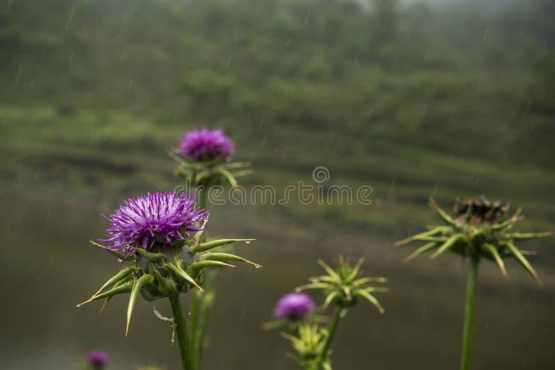 Fleur de chardon sous la pluie images stock