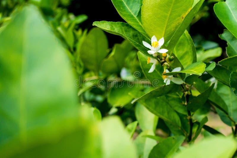 Fleur de chaux photo libre de droits