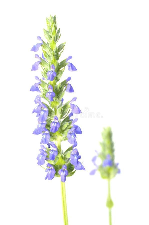 Fleur de Chia photo libre de droits