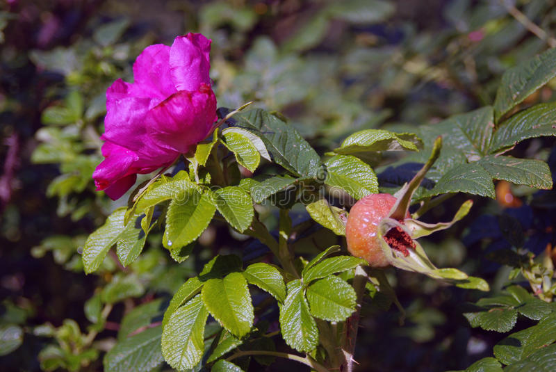 Fleur de chien-rose (cynorrhodon) sur un buisson couvert par des gouttes de pluie image stock