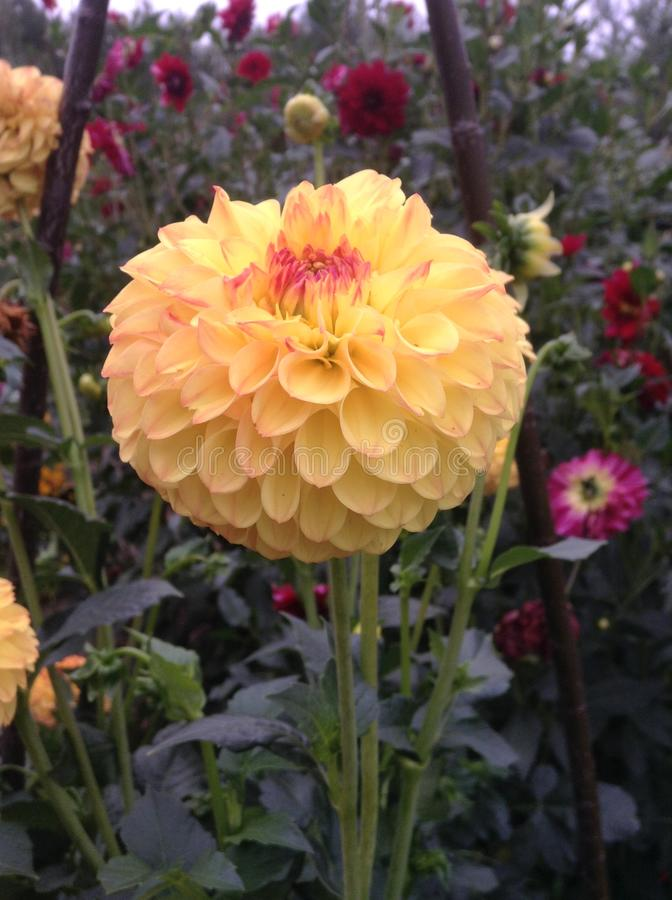 Fleur de chrysanthème images stock
