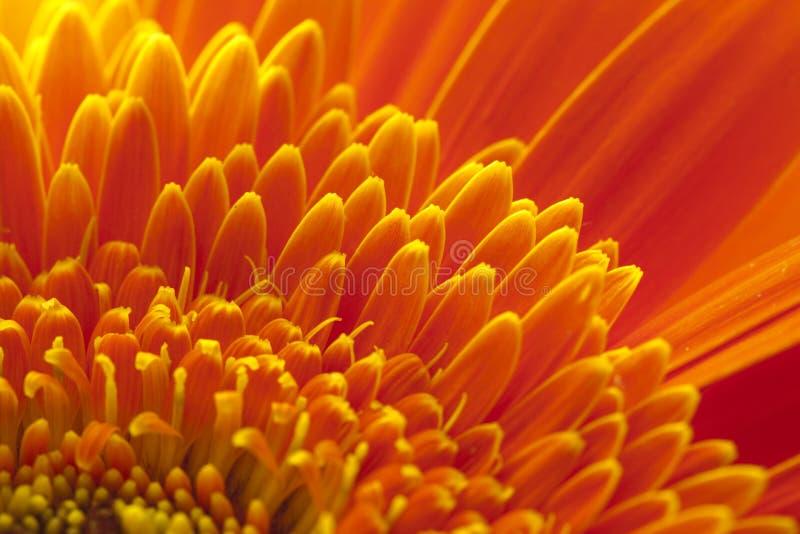 Fleur de chrysanthemum photos libres de droits