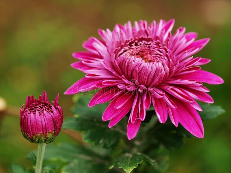 Fleur de chrysanthemum image stock