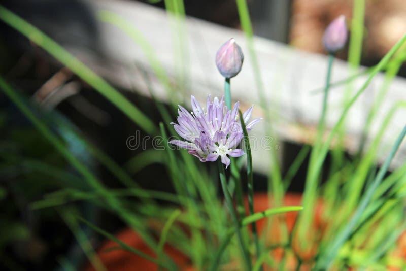 Fleur de ciboulette d'oignon photo stock