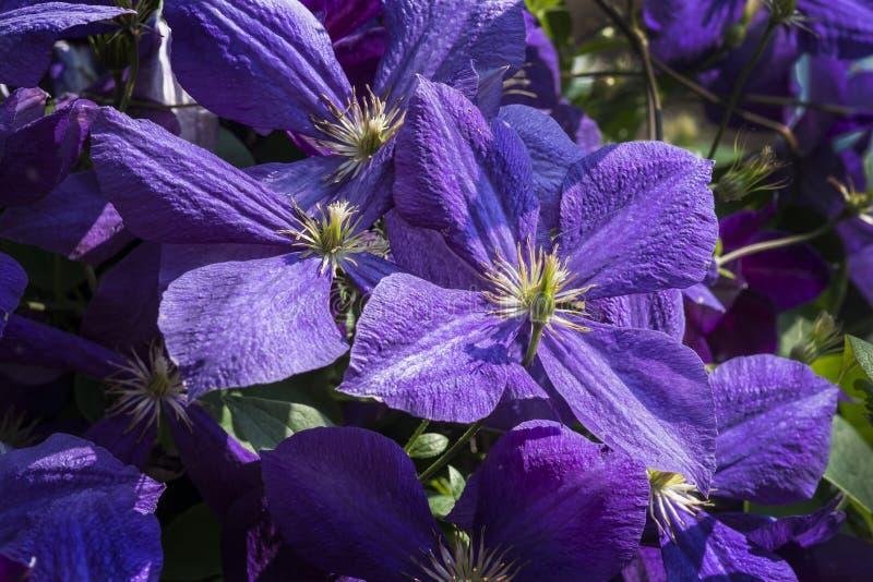 Fleur de clématite images stock