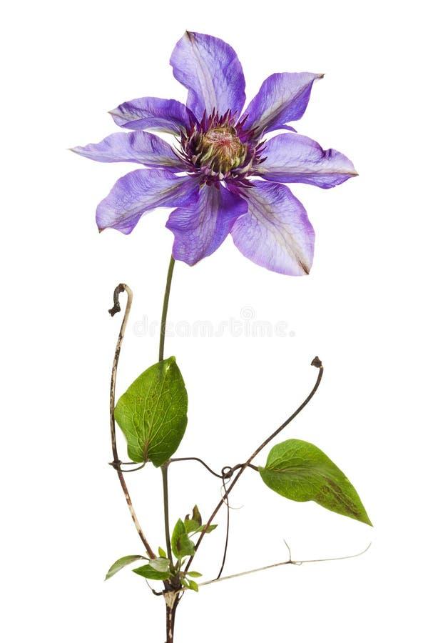 Fleur de clématite d'isolement photographie stock