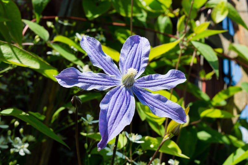 Fleur de clématite sur un lit dans un jardin images libres de droits