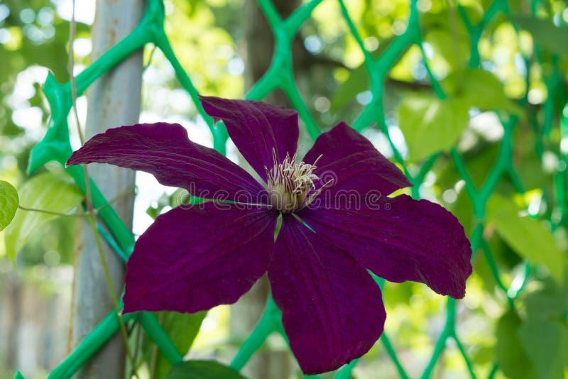 Fleur de clématite sur un lit dans un jardin images stock