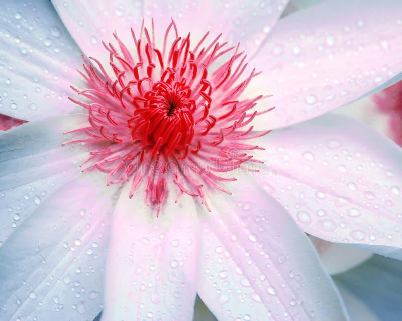 Fleur de Clematis photographie stock