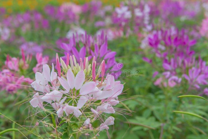 Fleur de Cleome et x28 ; Hassleriana& x29 de Cleome ; ou fleur d'araignée dans le beau jardin photo libre de droits