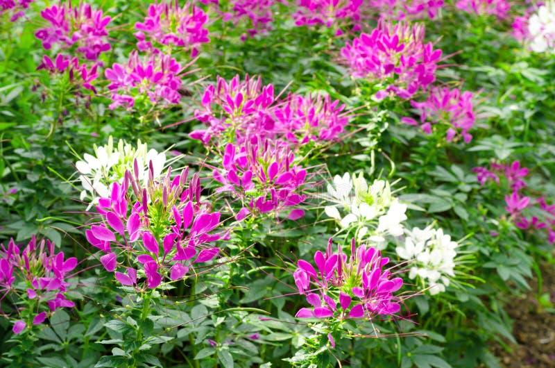 Fleur de Cleome ou d'araignée images libres de droits