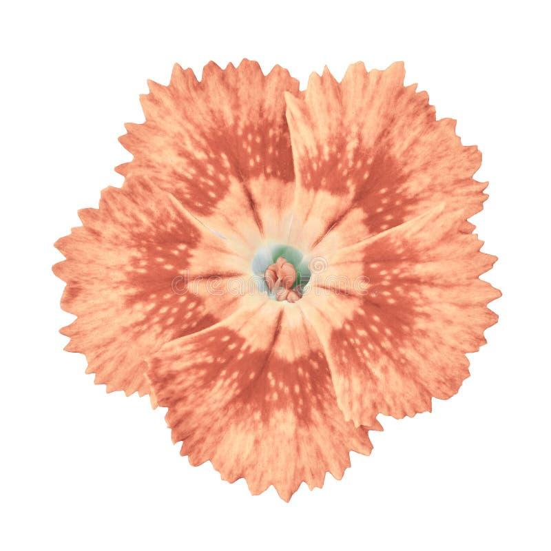 Fleur de corail d'oeillet d'isolement sur le fond blanc Plan rapproché photo libre de droits