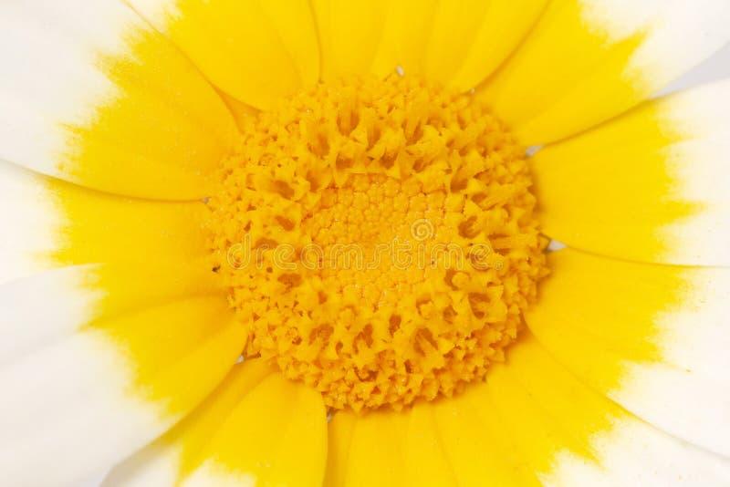 Fleur de coronarium de chrysanthème photos stock
