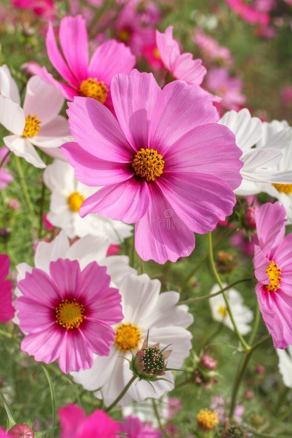 Fleur de cosmos photos libres de droits