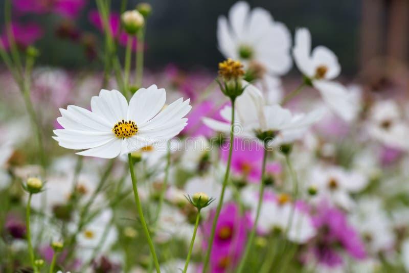 Fleur de cosmos photo stock