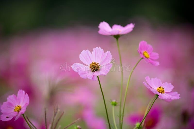 Fleur de cosmos photographie stock libre de droits