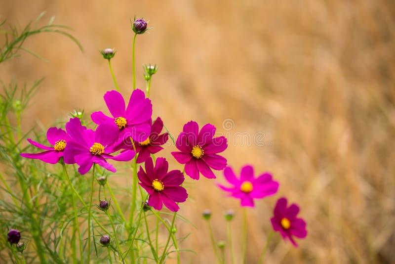 Fleur de cosmos photo libre de droits