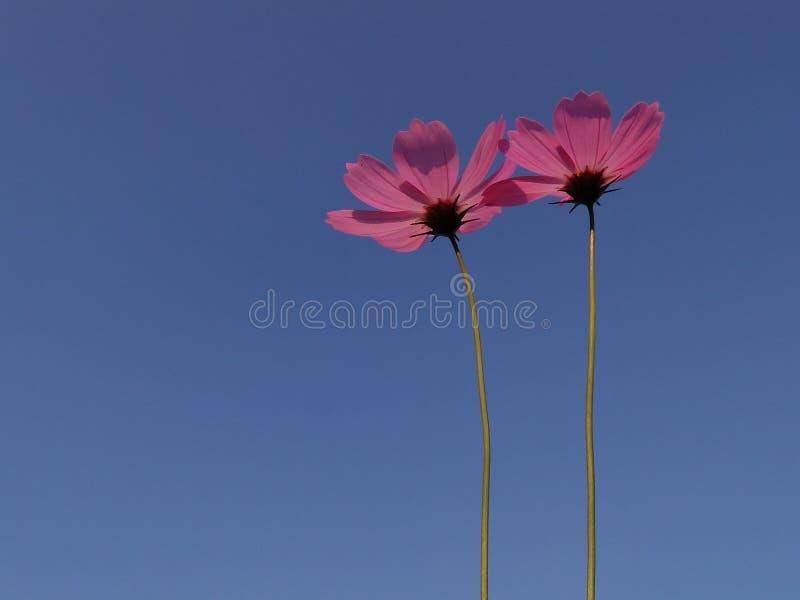 Fleur de cosmos en détail image stock