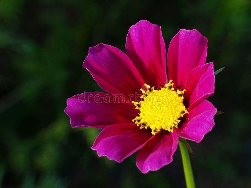 Fleur de cosmos en détail photographie stock