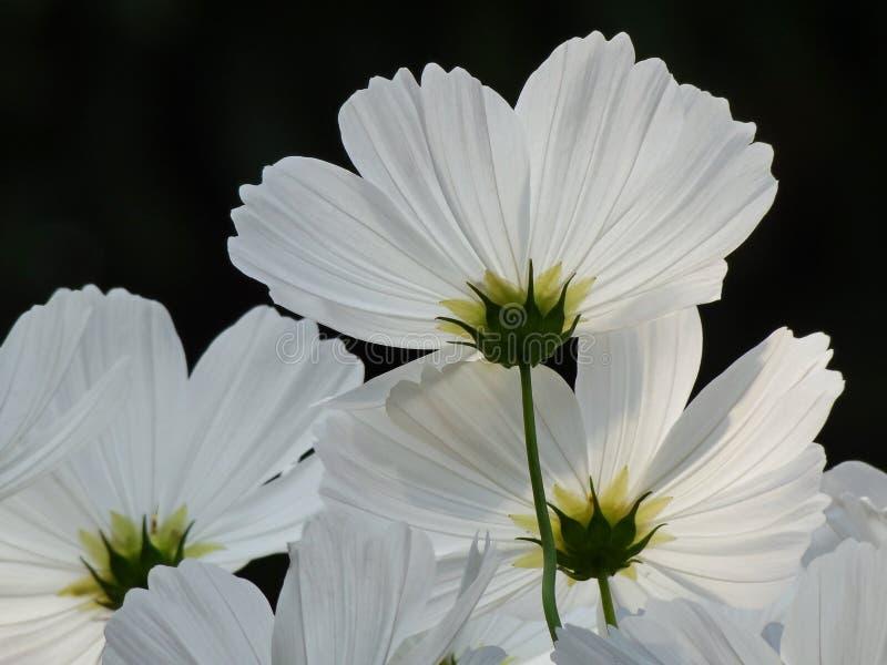 Fleur de cosmos en détail photos stock