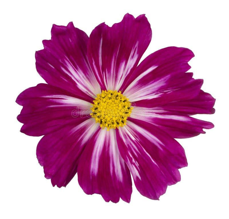 Fleur de Cosmos isolée image libre de droits