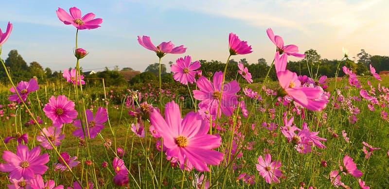 Fleur de cosmos Cosmos de soufre image libre de droits