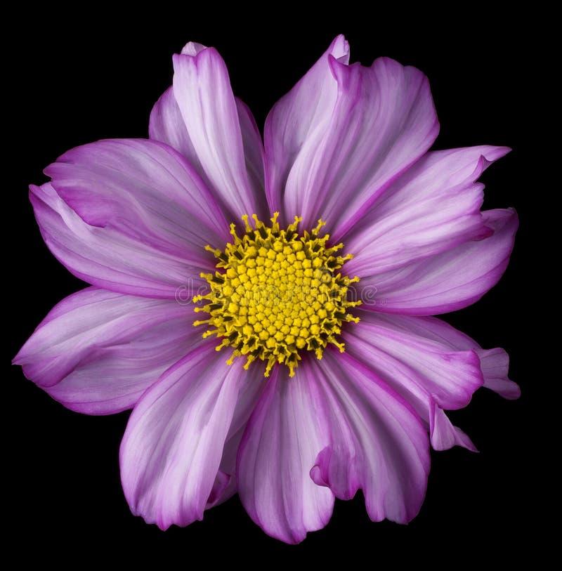 Fleur de cosmos sur le noir photo stock