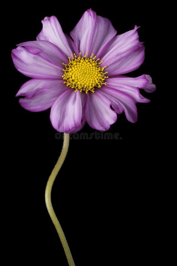 Fleur de cosmos sur le noir image stock