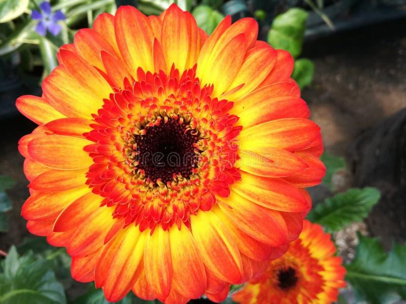 Fleur de couleur images libres de droits
