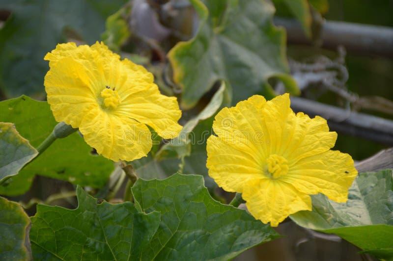Fleur de courge d'éponge dans le jardin images libres de droits